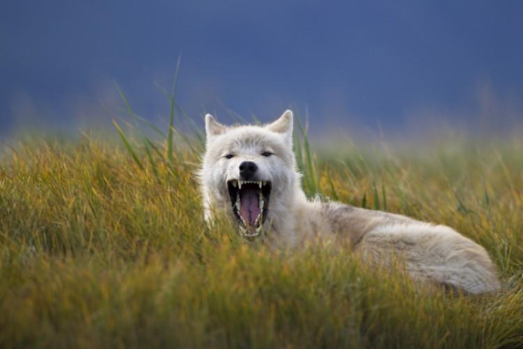 White Wolf-Katmai N.P.-Alaska