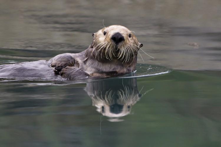 Sea Otter-Kenai Peninsula-Alaska