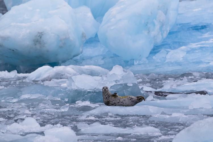 Harbor Seal-Columbia Glacier - Kenai Peninsula - Alaska