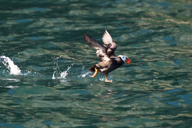 Tufted Puffin-Prince William Sound-Kenai Peninsula-Alaska