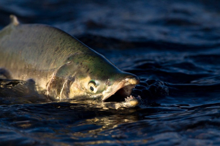 Coho ( Silver ) Salmon-Kenai Peninsula-Alaska