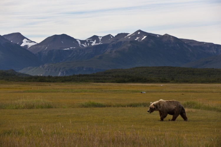 The Wanderer-Alaskan Brown Bear-Katmai N.P.-Alaska