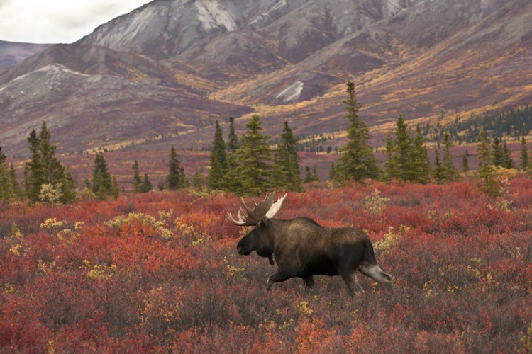 Colors of the Rut-Alaskan Moose-Denali N.P.-Alaska