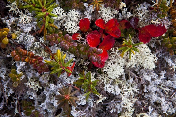 Tundra Foliage-Alaska