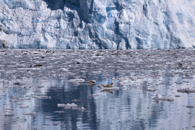 Harbor Seals-Columbia Glacier-Kenai Peninsula-Alaska